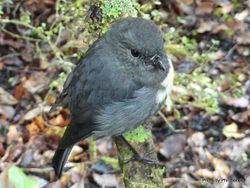 Phil Bendle Collection:Robin (South Island) Petroica australis