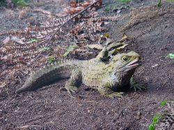 Phil Bendle Collection:Tuatara (Sphenodon guntheri) Brother Islands tuatara