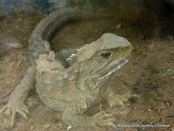 Phil Bendle Collection:Tuatara (Sphenodon punctatus punctatus) Northern tuatara