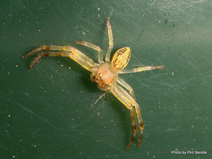 Spider Diaea spp-002.JPG