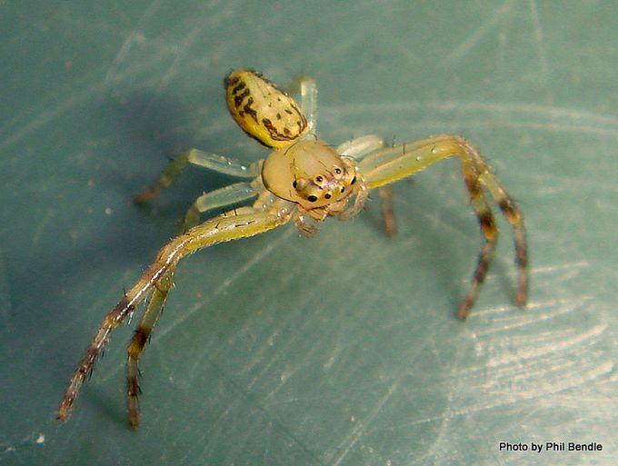 Spider Diaea spp-009.JPG