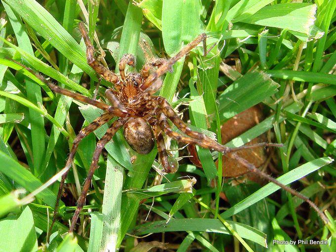Spider Genus Cycloctenus Scuttling spider.JPG