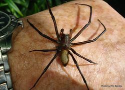 Phil Bendle Collection:Sheetweb spider (Cambridgea foliata)