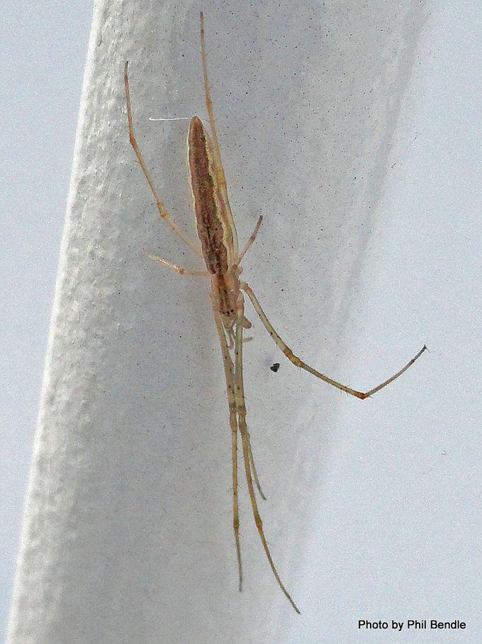 Spider Tetragnatha species-001.JPG