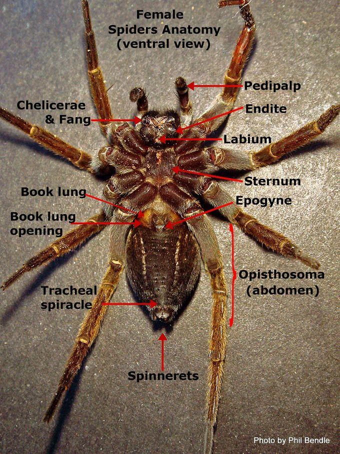 Spider vental view-001.jpg