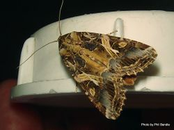 Phil Bendle Collection:Spodoptera litura (Tropical armyworm moth)