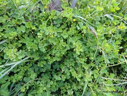 Phil Bendle Collection:Medicago arabica (Spotted Bur Medick)