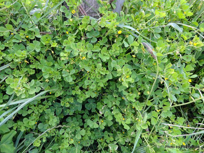 Spotted Bur Medick Medicago arabica -001.JPG