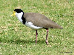 Phil Bendle Collection:Plover (Spur-winged) Vanellus miles novaehollandiae
