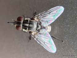 Phil Bendle Collection:Fly (Stable fly) Stomoxys calcitrans