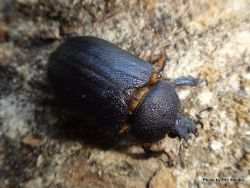 Phil Bendle Collection:Beetle (Stag) Family Lucanidae