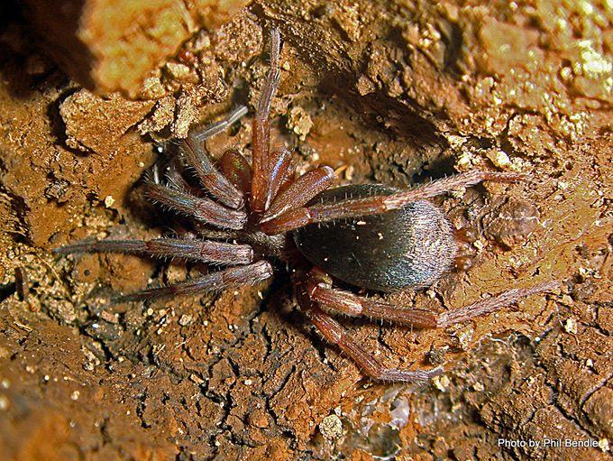 Stealthy Ground Spiders Family Gnaphosidae -001.JPG