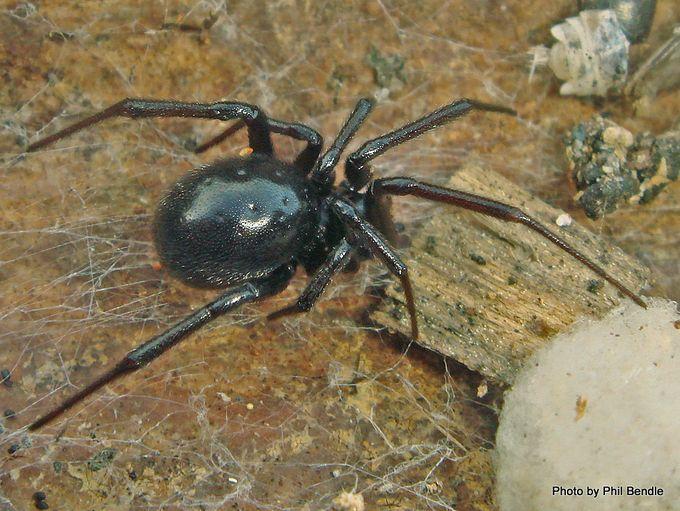 Steatoda capensis False katipo spider Black cobweb spider-001.JPG