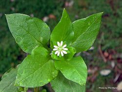 Phil Bendle Collection:Stellaria media (Common Chickweed)