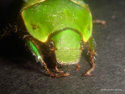 Phil Bendle Collection:Beetle (Chafer) Tanguru (Stethaspis suturalis)