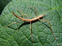 Phil Bendle Collection:Stick Insect (Phasmid species)