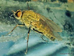 Phil Bendle Collection:Fly (Stiletto) Therevidae family
