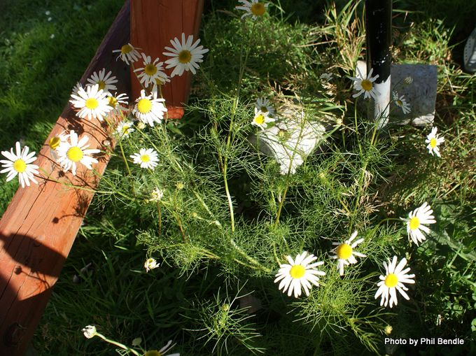 Stinking Mayweed Anthemis cotula-1.JPG