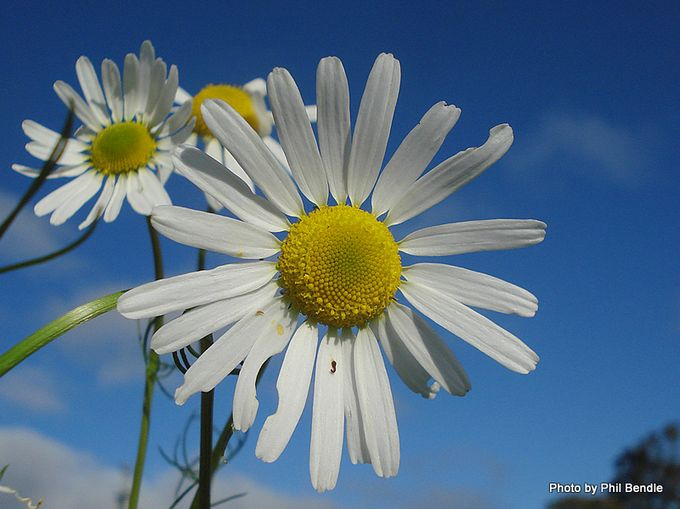 Stinking Mayweed Anthemis cotula-7.JPG