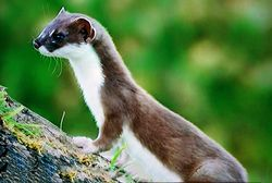 Phil Bendle Collection:Stoat (Mustela erminea)