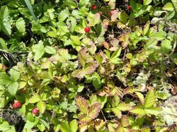Phil Bendle Collection:Potentilla indica (Indian Strawberry)