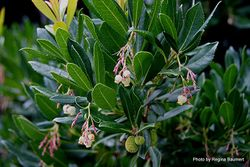 Phil Bendle Collection:Arbutus unedo (Irish Strawberry tree)