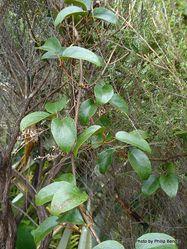 Phil Bendle Collection:Ripogonum scandens (Supplejack vine)