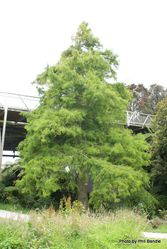 Phil Bendle Collection:Taxodium distichum (Swamp Cypress)