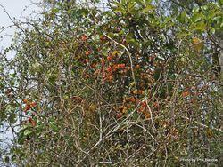 Phil Bendle Collection:Rubus australis (Swamp lawyer)