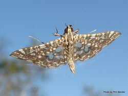Phil Bendle Collection:Glyphodes onychinalis (Swan plant moth)