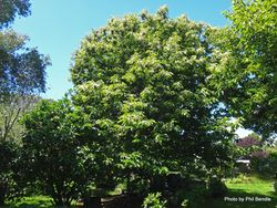 Phil Bendle Collection:Castanea sativa (Sweet chestnut)