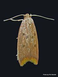 Phil Bendle Collection:Tachystola acroxantha