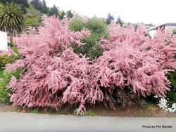 Phil Bendle Collection:Tamarix ramosissima (Tamarisk Pink Cascade)