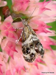 Phil Bendle Collection:Tebenna micalis (Metalmark moth)