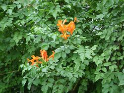 Phil Bendle Collection:Tecomaria capensis (Cape Honeysuckle)