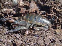 Phil Bendle Collection:Hoppers (Land) Terrestrial amphipods