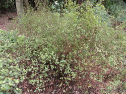 Phil Bendle Collection:Teucridium parvifolium (Teucridium)