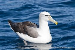 Phil Bendle Collection:Albatross (Shy mollymawk) Thalassarche cauta