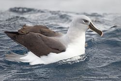 Phil Bendle Collection:Albatross (Grey-headed mollymawk) Thalassarche chrysostoma