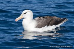 Phil Bendle Collection:Albatross (Black-browed mollymawk) Thalassarche melanophris