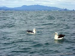 Phil Bendle Collection:Albatross (White capped mollymawk) Thalassarche steadi