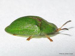 Phil Bendle Collection:Beetle (Thistle tortoise) Cassida rubiginosa