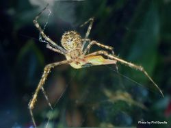 Phil Bendle Collection:Cobweb spider (Theridion zantholabio)
