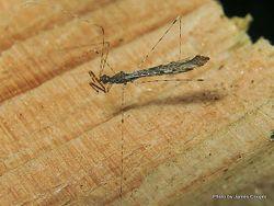 Phil Bendle Collection:Bug (Assassin Thread-legged) Subfamily Emesinae .