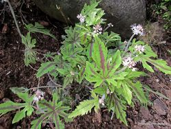 Phil Bendle Collection:Tiarella polyphylla (Cultivars)