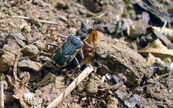 Phil Bendle Collection:Beetle (Tiger) Neocicindela tuberculata