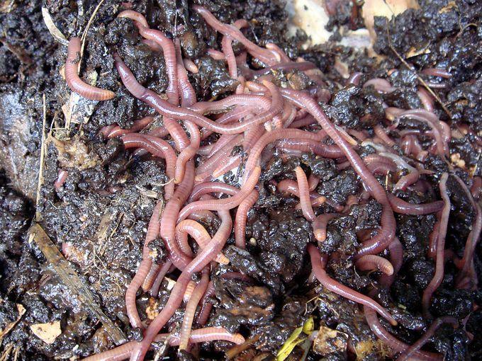 Tiger worms-003.JPG