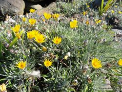 Phil Bendle Collection:Gazania linearis (Striped Treasure flower)