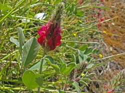 Phil Bendle Collection:Trifolium incarnatum (Crimson clover)