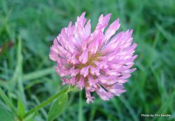 Phil Bendle Collection:Red Clover (Trifolium pratense)
